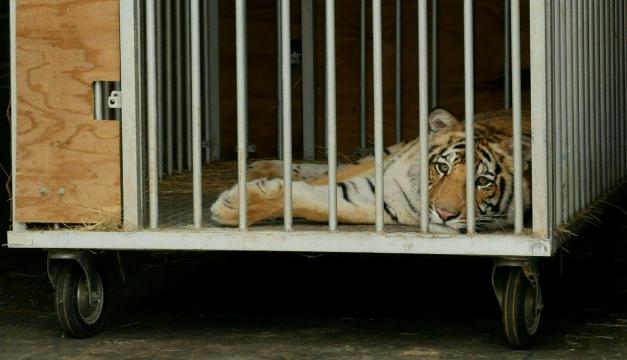 Capturan a un tigre de Bengala que deambulaba por un barrio de Houston, Texas