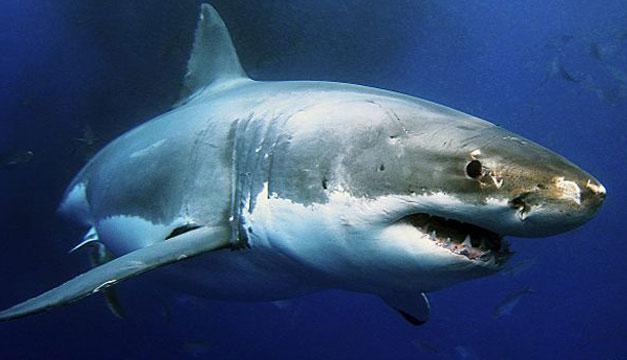 ¿Los tiburones en peligro por el calentamiento oceánico?