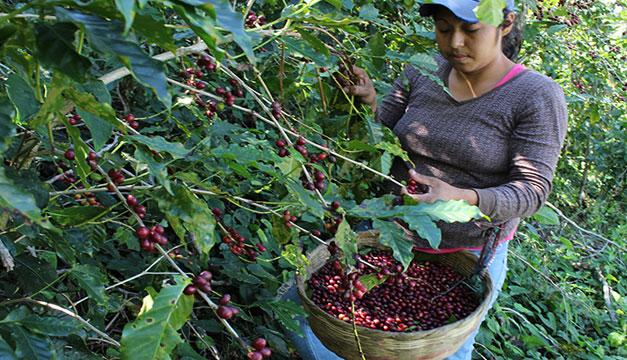 Quintal de café pasa de los $200 y logra su mejor precio en 7 años