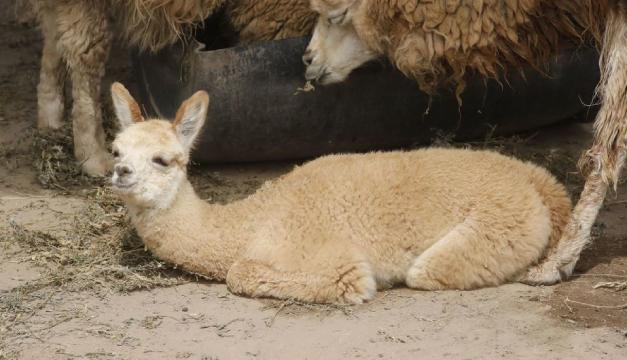 Paquita, la alpaca andina bebé que casusa sensación en un zoológico de Lima